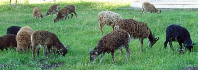 Soay Sheep Lambs in many colors