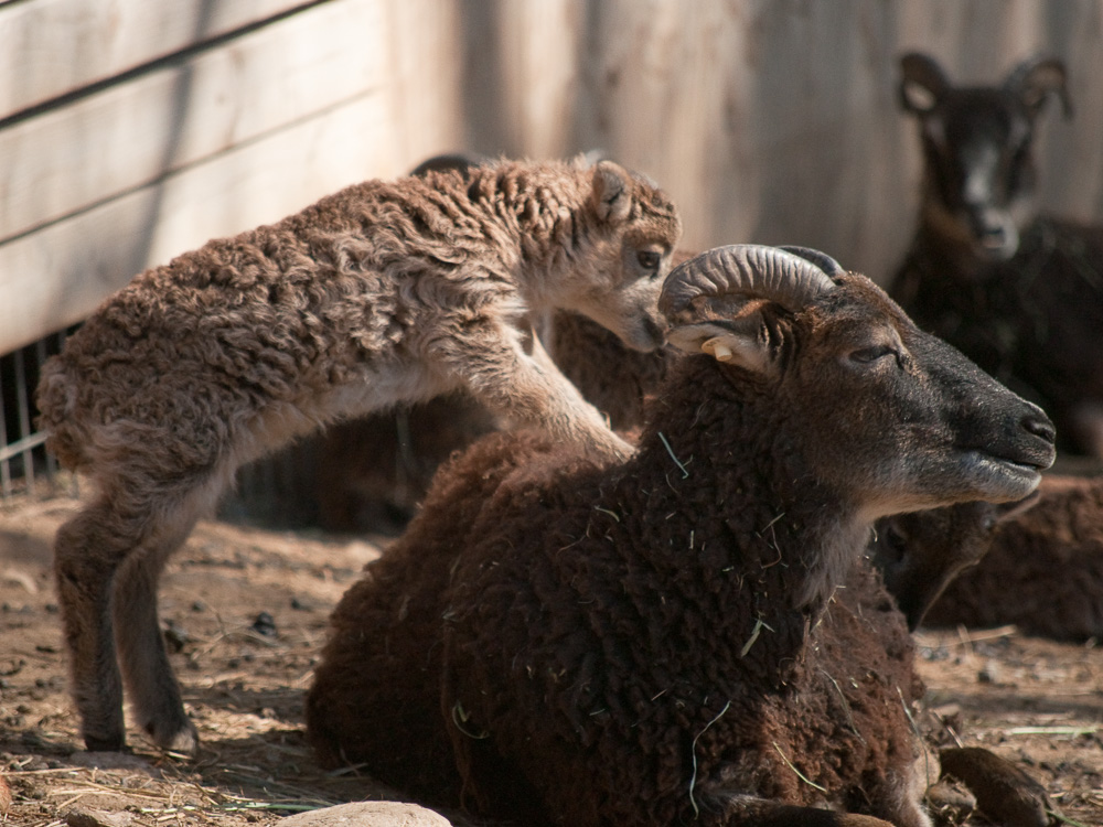 British Soay lamb and mother