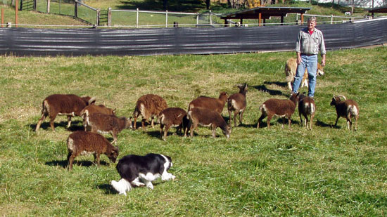 Molly the Border Collie herding