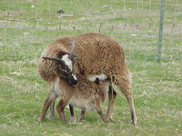 the first domestic sheep